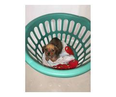 One female Schweenie puppy