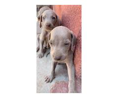 4 Weimaraner puppies left