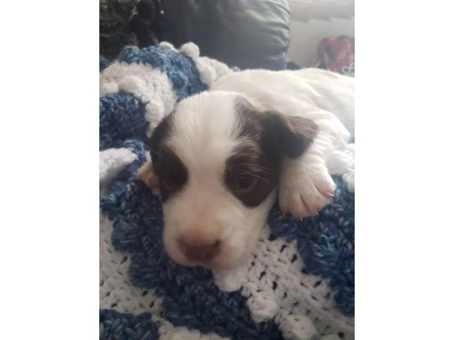 Akc English Springer Spaniels In Johnston Iowa Puppies For Sale Near Me