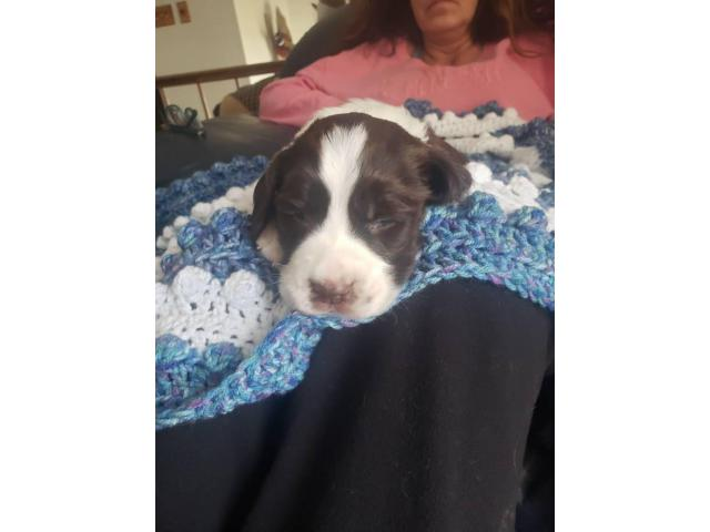 Akc English Springer Spaniels In Johnston Iowa Puppies For Sale Near Me