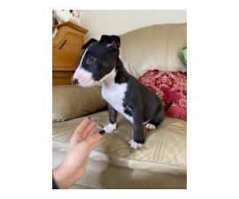 Male Bull terrier puppies