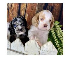 2 boys & 1 girl Cocker Spaniel puppies