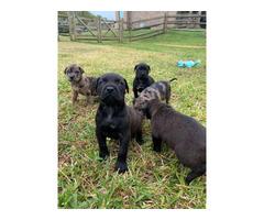 Rehoming Bull Mastiff puppies