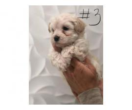 6 weeks old Maltese pups for adoption