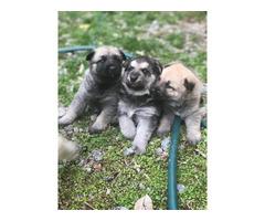 3 full blooded German shepherd puppies for sale