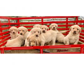 Registered yellow labrador puppies