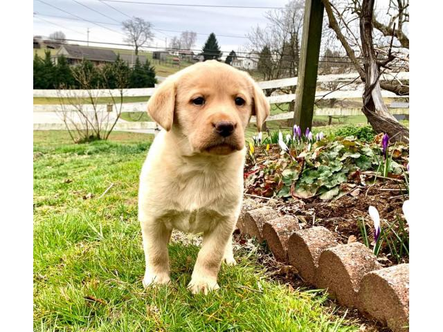 Registered yellow labrador puppies For Sale In Kentucky USA