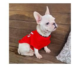 AKC Standard Cream French Bulldog Puppy for Adoption
