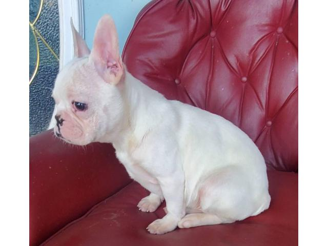 AKC Standard Cream French Bulldog Puppy for Adoption in ...