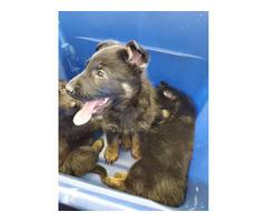 3 Boys, 1 Girl German Shepherd puppies