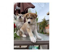 5 beautiful Husky puppies for sale