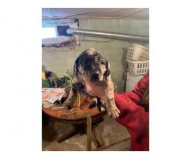 4 Labahoula puppies for sale