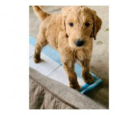 2 females and 2 males Goldendoodle puppies