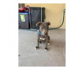 Rescued Pit bull puppies looking for a loving home