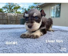 4 girls & 5 boys Miniature Schnauzers Puppies