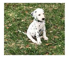 Registered Dalmatians for sale