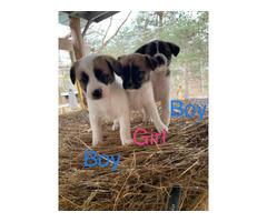 8 weeks old Jack Russel Terrier puppies