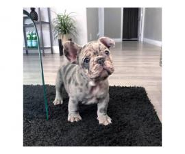 Blue pied and Merle French Bulldog Puppies