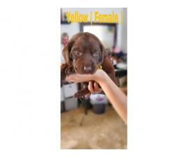 4 purebred AKC Chocolate lab females puppies available