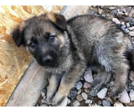 Gorgeous German Shepard Purebreed puppies