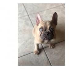 4 months old Lilac fawn French Bulldog puppy
