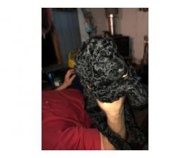Excellent bloodlines Standard Poodle puppies