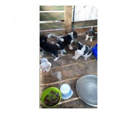 litter of purebred Beagle puppies