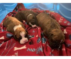 4 purebred boxers need good home