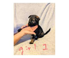 5 girls and 3 boys AKC German Shepherd Puppies