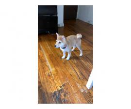 Gorgeous Shiba-Inu 4 month old female puppy