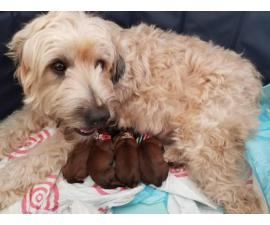 One boy left Purebred Wheaten terrier puppies