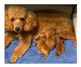 3 adorable miniature poodle puppies