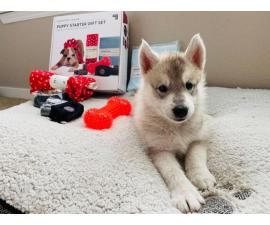 6 weeks old Siberian Husky