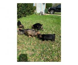 Snorkie puppies up for sale 5 males and 1 female