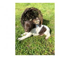 5 males AKC Reg. German Shorthaired Pointers Puppies available