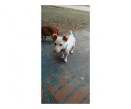 12 weeks old Jack Russell puppy for rehoming