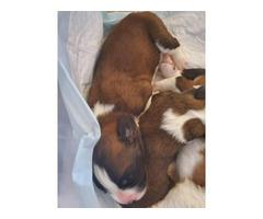 Purebred Saint Bernard Puppies In Denver Colorado Puppies For Sale Near Me