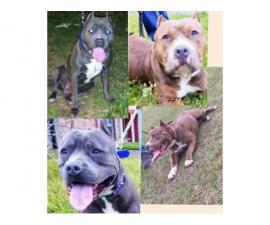6 American Pit Bull Terrier Puppies For Sale