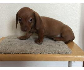 2 miniature dachshund puppies available