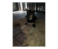 Rehoming Shiba inu puppies 1 boy & 2 girls