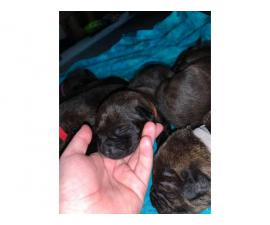 5 Pitweiler puppies need good home