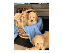 8 weeks old standard poodles looking for a new family