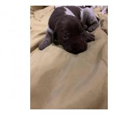 Liver / Roans German short haired pointer puppies