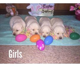 AKC White Lab Puppies Ready for the Easter