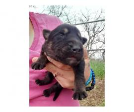 8 Gorgeous German Shepherds puppies for rehoming