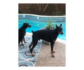 Three purebred females Doberman Pinschers