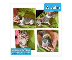9 Pretty Great Dane puppies for Adoption