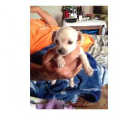Full blooded apple head chihuahua puppies
