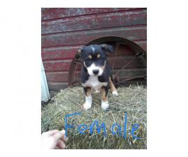 ABCA Purebred border collie puppies