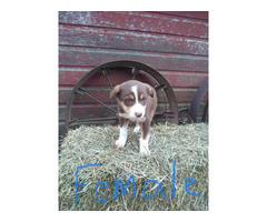 ABCA Purebredborder collie puppies